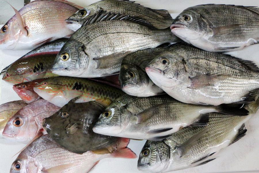 徳島県鳴門内ノ海でのいかだ釣りの釣果 チヌ、チャリコなど